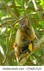 Capuchin Monkey eating a banana while holding another in the Amazon rainforest near Alta Floresta, Brazil