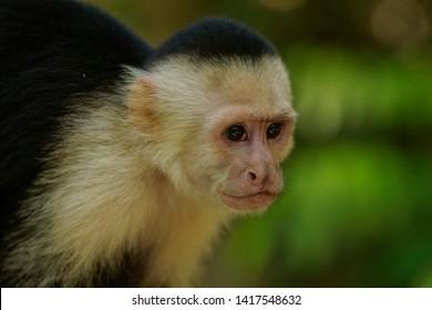 A Capuchin Monkey face portrait in a tropical forest in Costa Rica