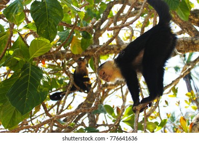 Capuchin monkey with funny look in Cahuita National Park, Costa Rica