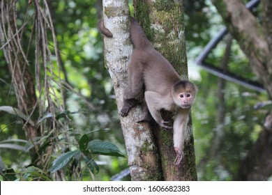 Capuchin monkey hanging by tail on tree in Amazon Rainforest, Cuyabeno Wildlife Reserve, Ecuador.