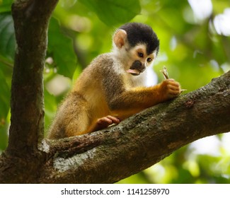 """Capuchin monkey """"doing his homework"""" on a tree branch holding a flower"""