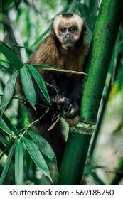 Capuchin monkey holding to the bamboo tree