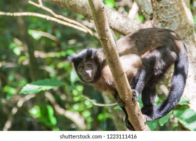 Capuchin monkey at Ile Royale, one of the islands of Iles du Salut (Islands of Salvation) in French Guiana - Shutterstock ID 1223111416