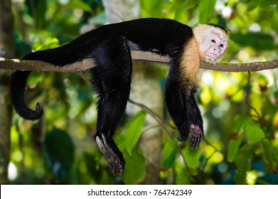 Capuchin Monkey in the jungle