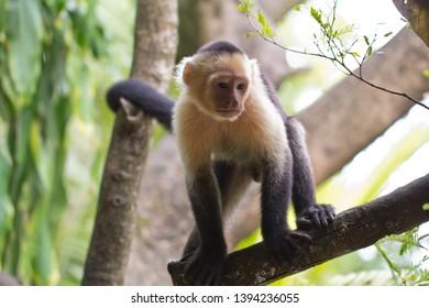 Capuchin monkey, Montezuma, Costa Rica