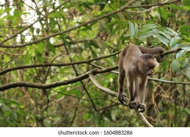 Capuchin monkey on a branch in Cuyabeno Wildlife Reserve, in Ecuador's Amazon Rainforest.