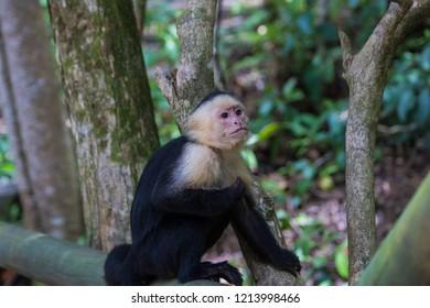Capuchin monkey on wood