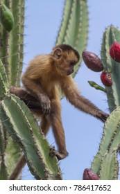 capuchin monkey in Piaui, Brazil