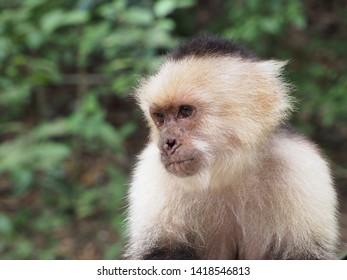 Capuchin Monkey Portrait in Forest