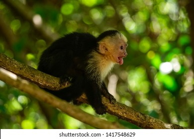 A Capuchin Monkey shows his tongue in a tropical forest in Costa Rica