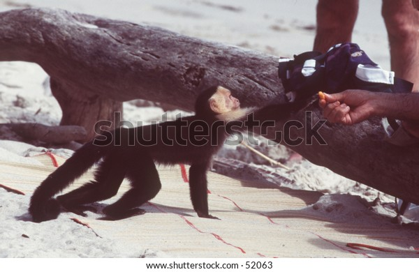 Capuchin monkey taking food from tourist