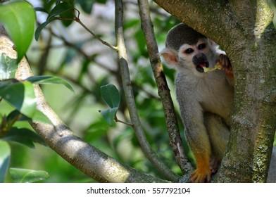 capuchin monkey in tree