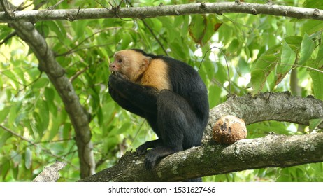 Capuchin monkey in a tree eating from a coconut in Montezuma Costa Rica