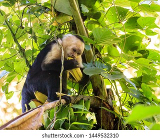 Capuchin monkey in a tropical forest in Costa Rica