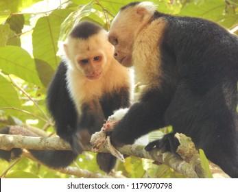 Capuchin Monkeys Eating