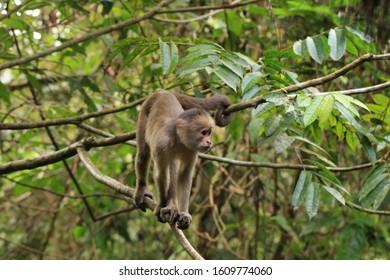 Capuchin monkeys in a tree in Amazon Rainforest in Cuyabeno Wildlife Reserve, Ecuador.