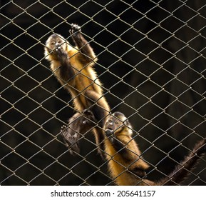 Capuchin monkeys in the zoo.