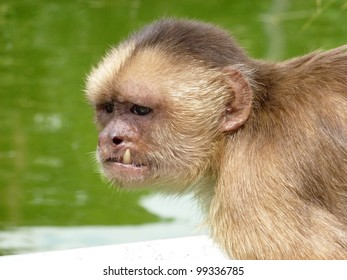 The capuchins are New World monkeys of the subfamily Cebinae.  Amazonas, Brazil