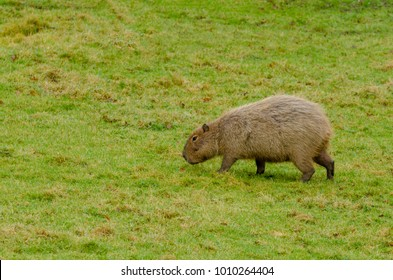 Capybara explore their environment
