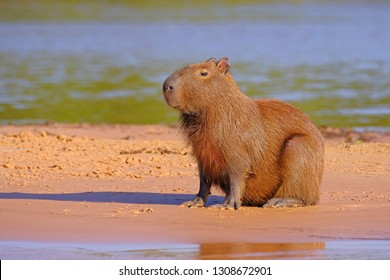 Capybara family, Hydrochoerus Hydrochaeris, also called chiguire, chiguiro and carpincho, sitting on a beach on Cuiaba river, Pantanal, Brazil, South America. Largest living rodent in the world.