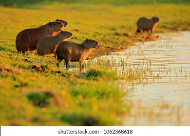 Capybara, family with youngs, biggest mouse in the water with evening light during sunset, Pantanal, Brazil. Wildlife scene from nature. Big mammals by the lake.