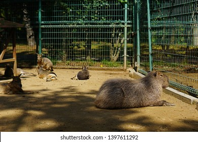 Capybara found in Japanese petting zoo.