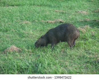 A capybara grazing, the Pantanal, Brazil
