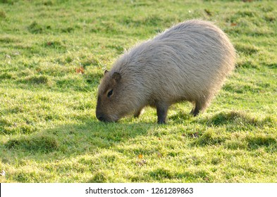 Capybara grazing and resting