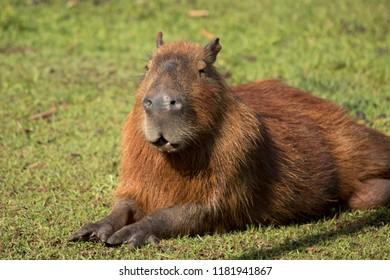 capybara in its habitat