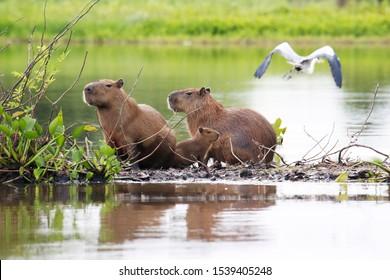 Capybara and heron  Wetland, MT, Brazil