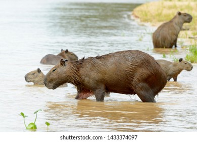 Capybara (Hydrochaeris hydrochaeris) family wading in river, Pantanal, Mato Grosso, Brazil