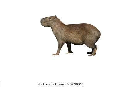 Capybara, Hydrochoerus hydrochaeris, animal by water, Brazil