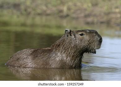 Capybara, Hydrochoerus hydrochaeris, animal in water, Brazil
