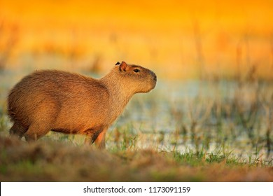 Capybara, Hydrochoerus hydrochaeris, Biggest mouse near the water with evening light during sunset, Pantanal, Brazil. Wildlife scene from nature.