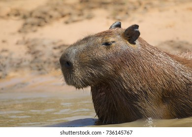A Capybara (hydrochoerus hydrochaeris) close up of head and shoulders resting in the water by a river bank, Pantanal, Brazil
