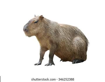 capybara ( hydrochoerus hydrochaeris ) isolated on white background