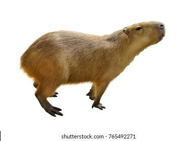 Capybara ( hydrochoerus hydrochaeris ) isolated on white background, selective focus.