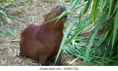 Capybara (Hydrochoerus hydrochaeris) is large rodent of genus Capybara is largest rodent in world.