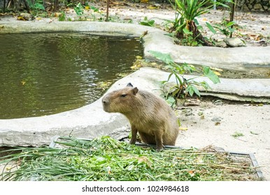 Capybara (Hydrochoerus hydrochaeris) is a large semi-aquatic rodent. Found in South America