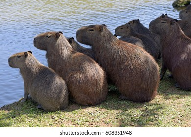 Capybara, Hydrochoerus hydrochaeris, the largest rodent in the world, originating in the South and Central America