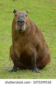 Capybara (Hydrochoerus hydrochaeris) is a mammal native to South America. It is the largest living rodent in the world. Capybara inhabits savannas and dense forests and lives near bodies of water.