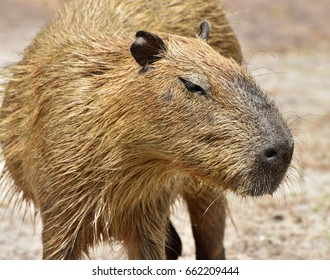 The Capybara (Hydrochoerus hydrochaeris), native to South America is the largest rodent in the world