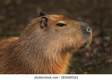 Capybara - Hydrochoerus hydrochaeris, portrait of giant rodent from South American savannas, swamps and grasslands, Brazil.