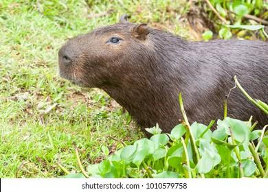 A capybara (Hydrochoerus hydrochaeris) resting at the river bank