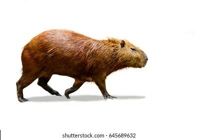 Capybara isolate on white background.