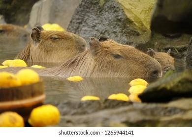 Capybara in Japanese hot both with yellow yuzu fruit