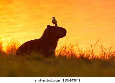 Capybara in the lake water with bird. The biggest mouse around the world. Capybara, Hydrochoerus hydrochaeris, with evening light during orange sunset, Pantanal, Brazil.