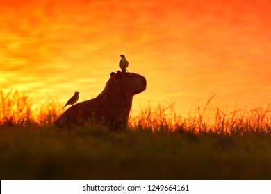 Capybara in the lake water with birds. The biggest mouse around the world, Capybara, Hydrochoerus hydrochaeris, with evening light during orange sunset, Pantanal, Brazil. Funny image, tropic nature.