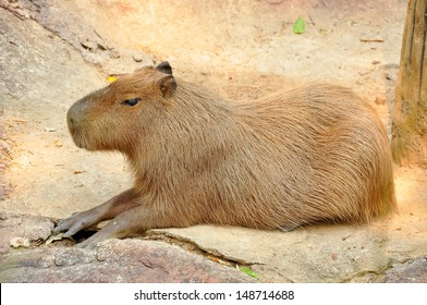 The capybara is the largest rodent