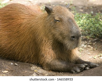 Capybara, the largest rodent in the world.